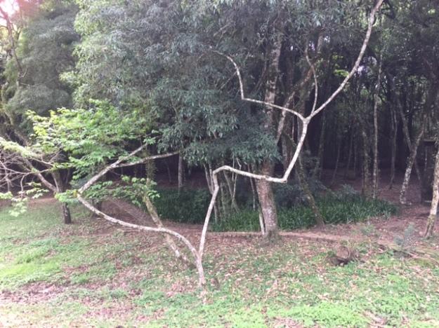 tree-curitiba